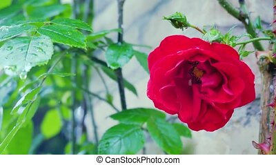 Red rose close-up on a background of a brick wall.