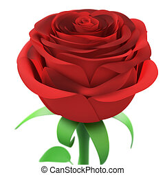Red rose closeup isolated on white background.