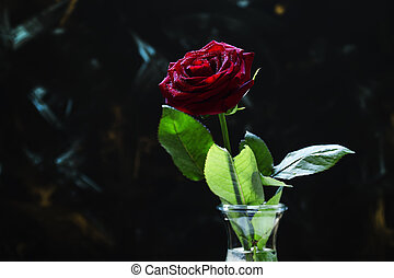 Red rose, dark background, shallow depth of field, selective focus