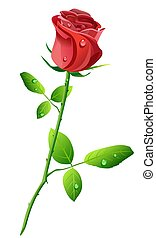 Red rose - illustration of red rose wiyh water drops...