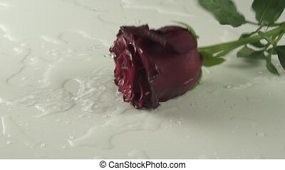Red rose falling on white background with water slow motion stock footage video