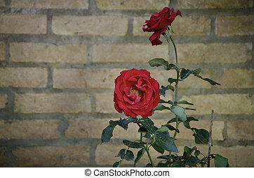 Rose flower against a brick wall