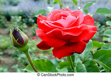Red rose flower