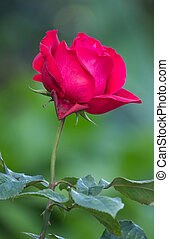 red rose flower in a garden