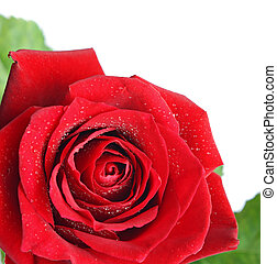 Red rose flower isolated on white