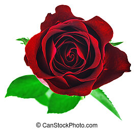 Red rose flower isolated on white background with clipping path