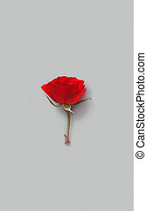 Red Rose flower on a grey background
