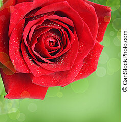 Red rose flower on green background