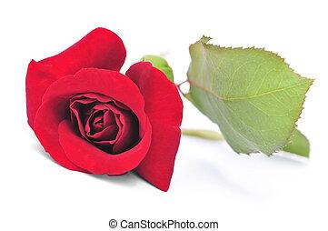 Red rose flower on white background