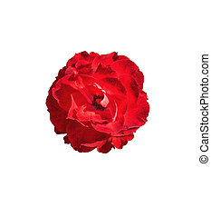 red rose flower white isolated with clipping path