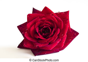red rose flower with dew drops of water;