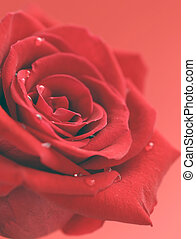 red rose flower with dew drops