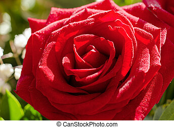 Red rose flower with drops