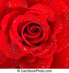 Red Rose. Flower with water drops