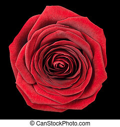 Red Rose Flowerhead Isolated on Black Background. Top View on Big Red Rose Flower
