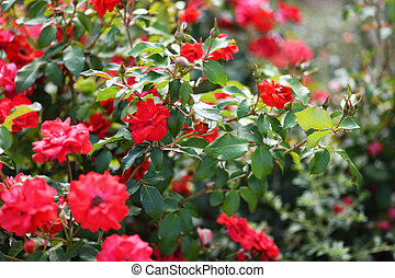 Red rose flowers in a blooming garden