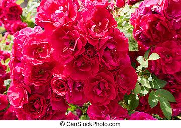 red rose flowers in summer garden