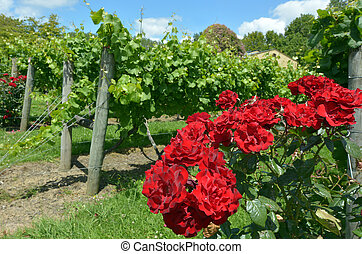 Red rose flowers plant grows in a wine vineyard for attractiveness to pollinators such as the honeybees, native bees and butterflies.