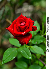 red rose for your love in Valentine day