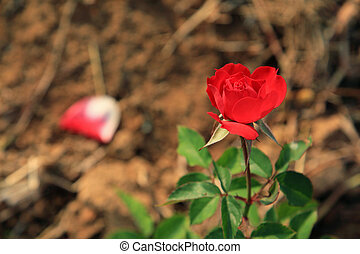 Red rose growing in the garden