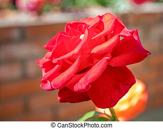 Red rose growing on brick wall background