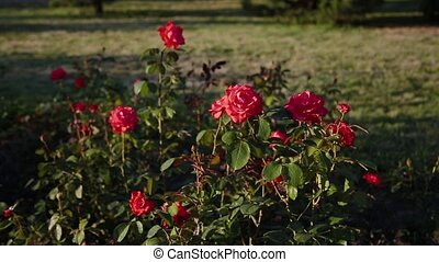 Red rose hip flower on a bush in spring. Blooming wild rose hip in a nature. Briar, wild rose, dog rose. Flowers for food, tea and medicine.