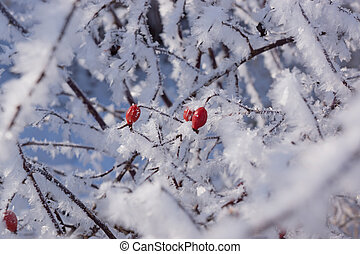 Red rose hips on the bush in winter