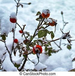 red rose hips under the snow in a garden