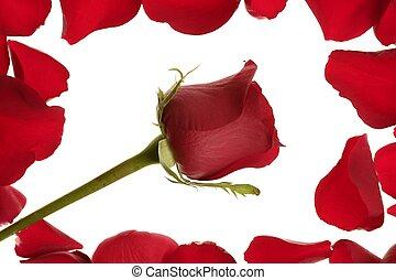 Red rose in a petals border frame