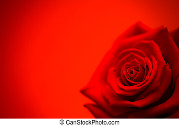 Red rose in bloom on red background