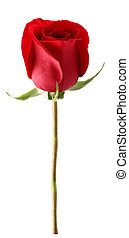 Red rose in closeup