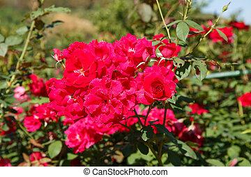 red rose in garden