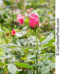 Red rose in garden with rain drop