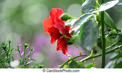 Red rose in rain in summer