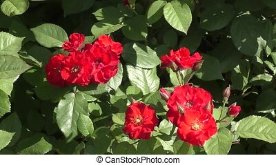 Red rose in summer