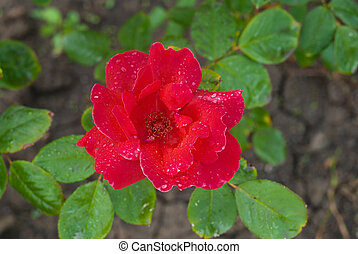 Red rose in the garden after rain