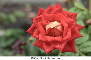 red rose in the garden closeup. Rich color and large dew drops.