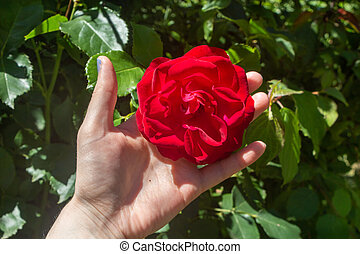 Red rose in the hand of a woman in a garden