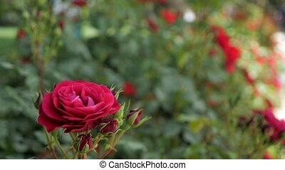 Red rose in the wind