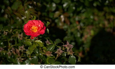 Red rose in the wind.