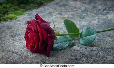 Red Rose Is Placed On Gravestone - Person puts beautiful red...