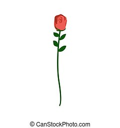 Red rose isolated. Beautiful flower on white background