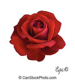 Red Rose. Isolated Flower on a White Background.