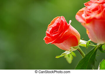 red rose isolated on a green background