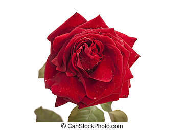 red rose isolated on a white background