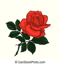 Red rose isolated on a white background.