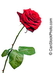 Red rose isolated on white backgrou