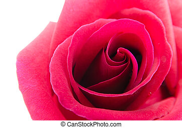 red rose isolated on white background