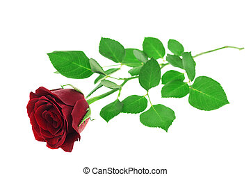 Red rose isolated on white background with clipping path