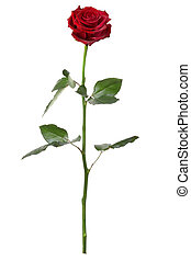 Red rose isolated on white background, long stem